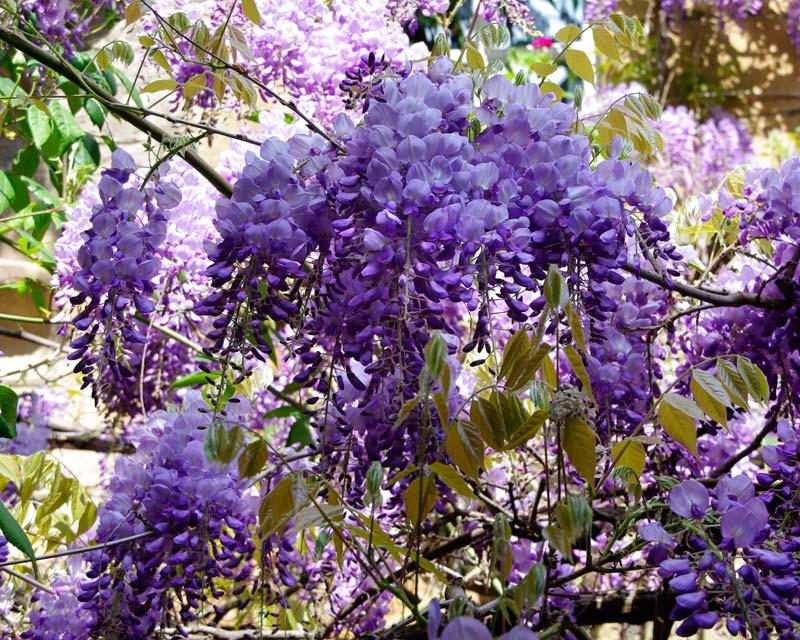 Wisteria sinensis in spring