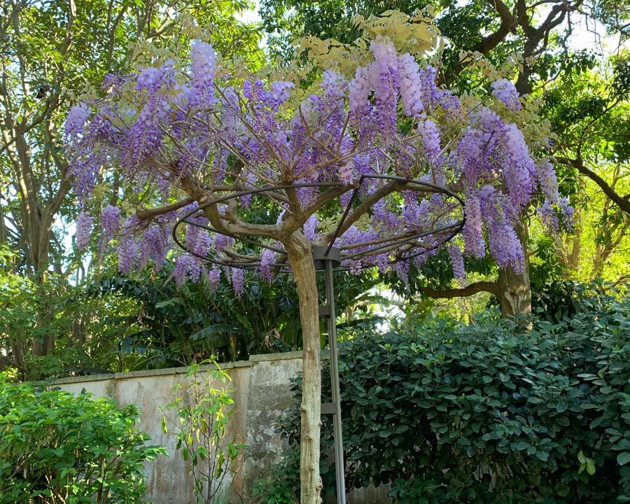 Wisteria sinensis as a standard, seen at Sydney Botanic Gardens