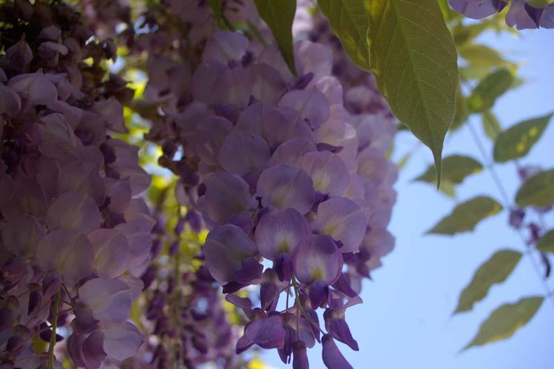 The delicate flowers of Wisteria sinensis - Sydney Botanic Gardens