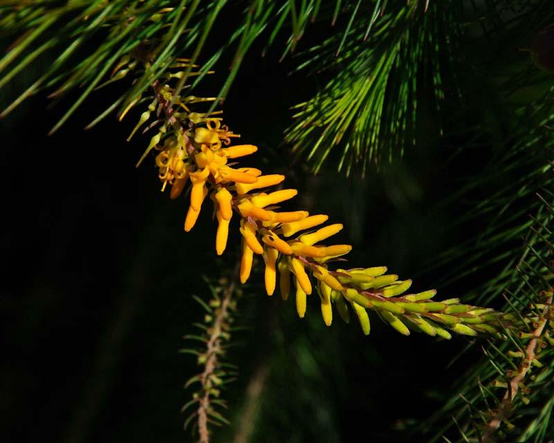 Persoonia pinifolia -