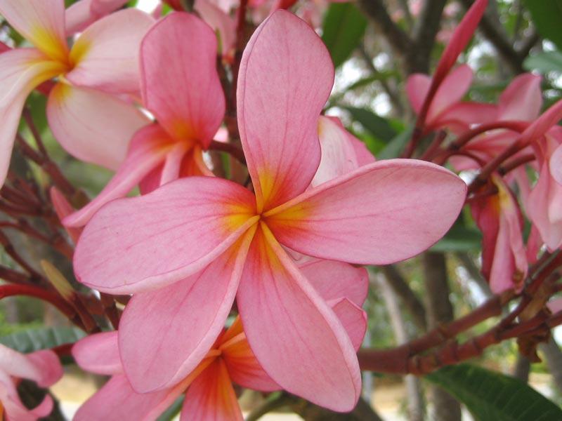 Red frangipani, Plumeria rubra