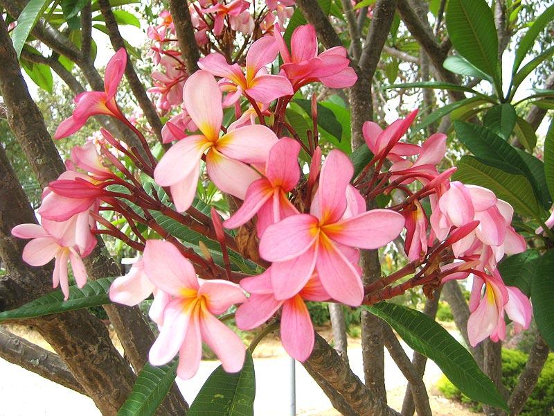 Plumeria rubra, Red Frangipani