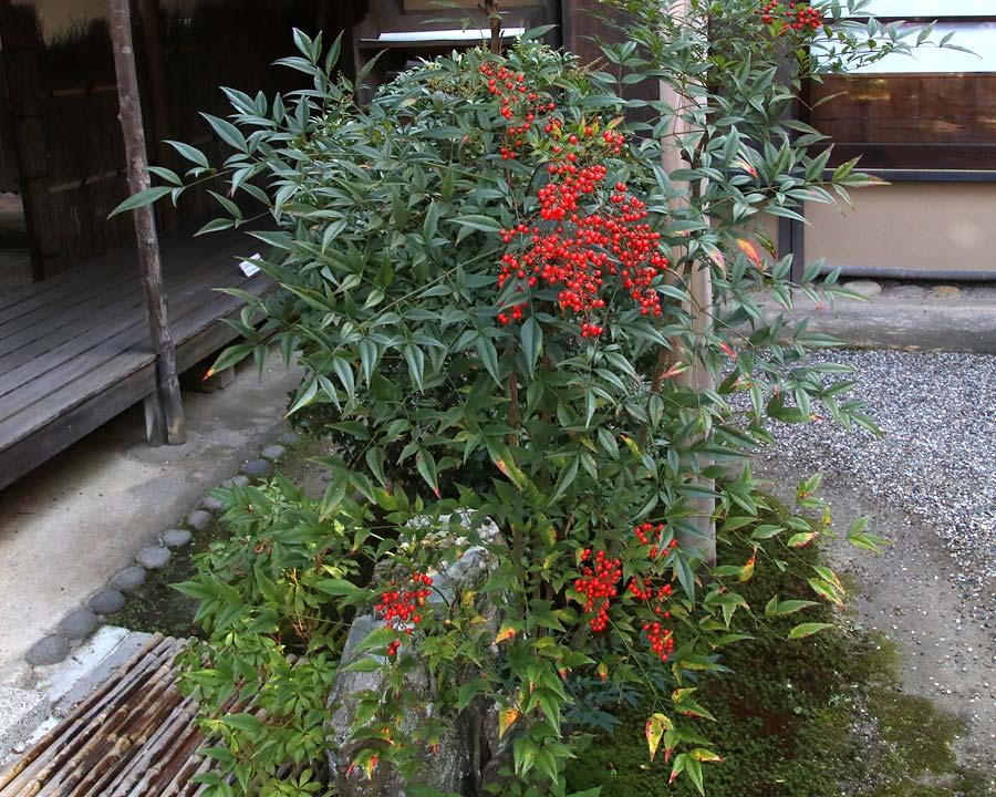 Nandina domestica, Sacred Japanese Bamboo