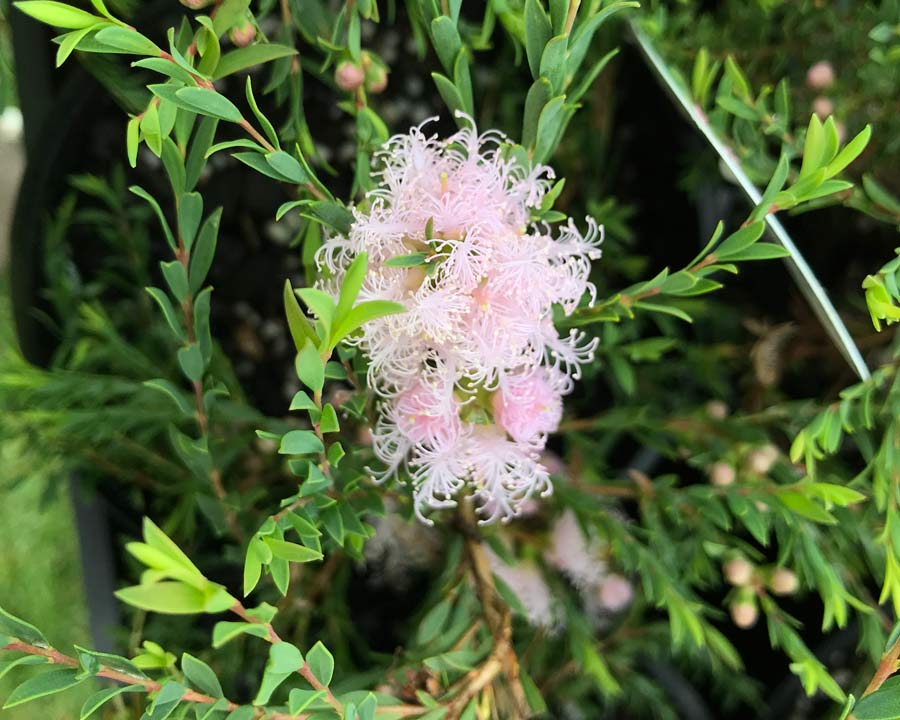 Melaleuca thymifolia - this is Pink Lady the flowers are a delicate pink