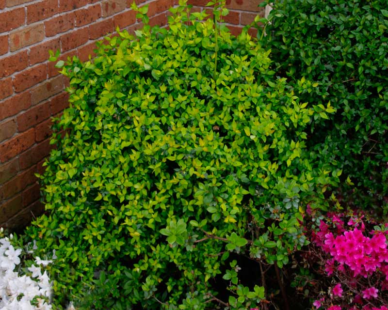 Abelia x grandiflora Francis Mason, makes an easy to keep shaped low bush for the shubbery.