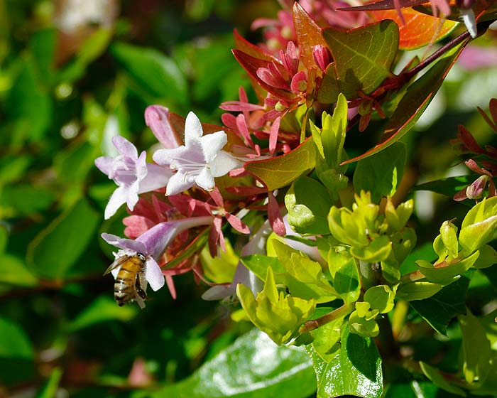Abelia Francis Mason - a profusion of flowers in summer
