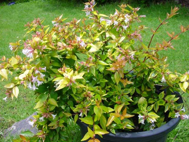 Abelia x grandiflora Francis Mason go well in pots too.