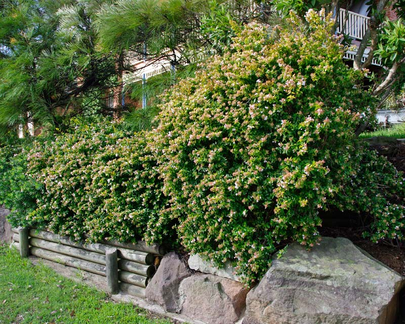 Abelia Francis Mason - will provide good, dense hedging with limited sunlight.