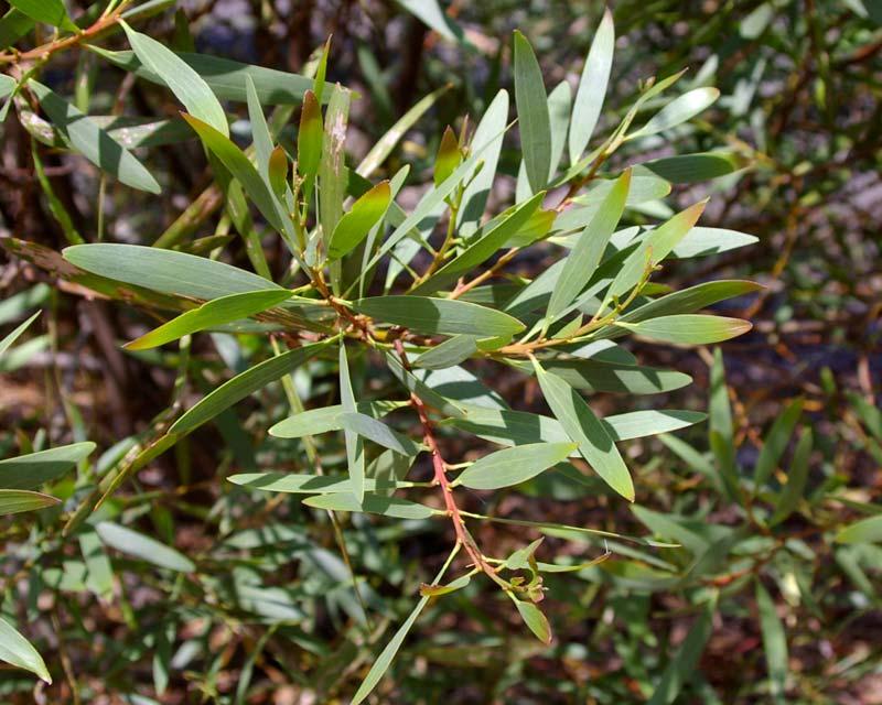 Acacia longifolia subsp Longifolia, the Sydney Golden Wattle