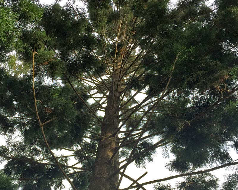 Whorls of radiating branches along the trunk - Araucaria cunninghamii - Hoop Pine