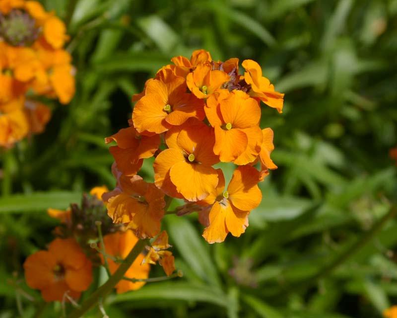 Erysimum cheiri - Wallflower - deep yellow to orange flowers borne on elongated terminal racemes