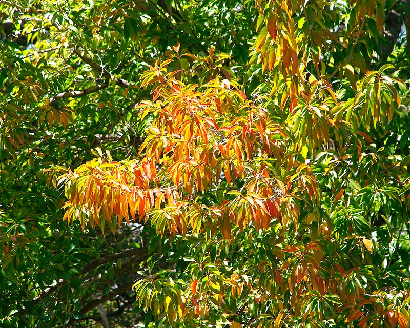 Fiddlewood - Citharexylum spinosum - leaves turn orange in late winter / early spring before falling