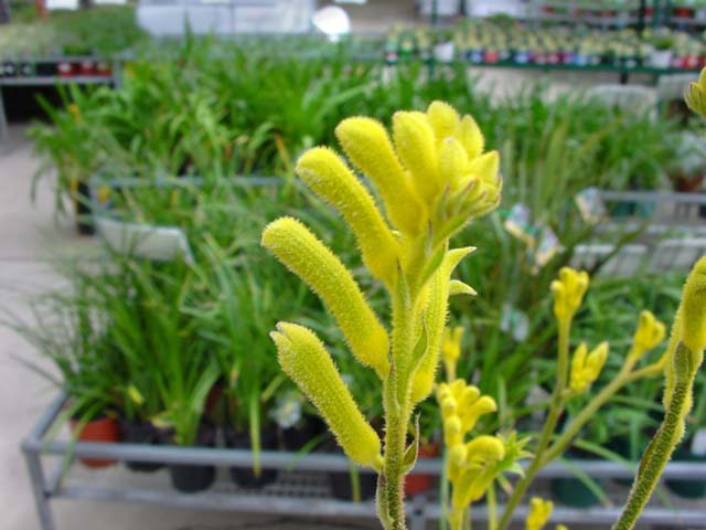 Bush Gold is one of the many Anigozanthos hybrids now available