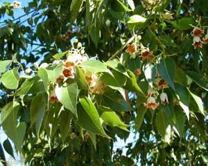 Brachychiton poulneus..  Nice thick foliage - good screening plant