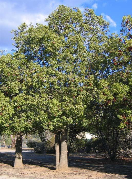 Brachychiton poulneus.  Good for shade