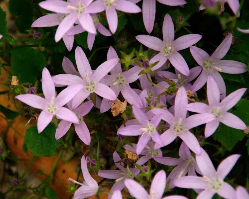 Campanula poscharskyana - pretty mauve star shaped flowers