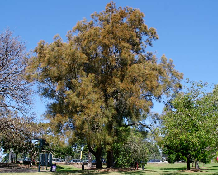 our casuarina tree The casuarina tree is a very striking and graceful tree while the casuarina resembles a long needled pine tree it not actually a please read our terms and.
