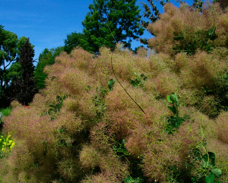 Cotinus coggygria - emerald green oval leaves and green panicles turning soft pink in early summer