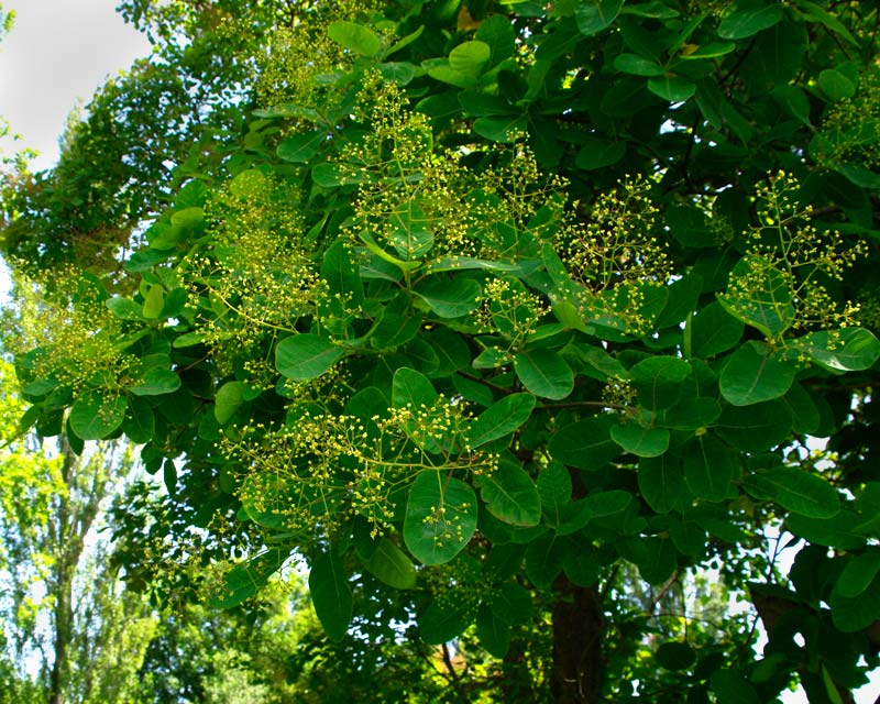 Cotinus coggygria - emerald oval leaves flower panicles green before turning pink