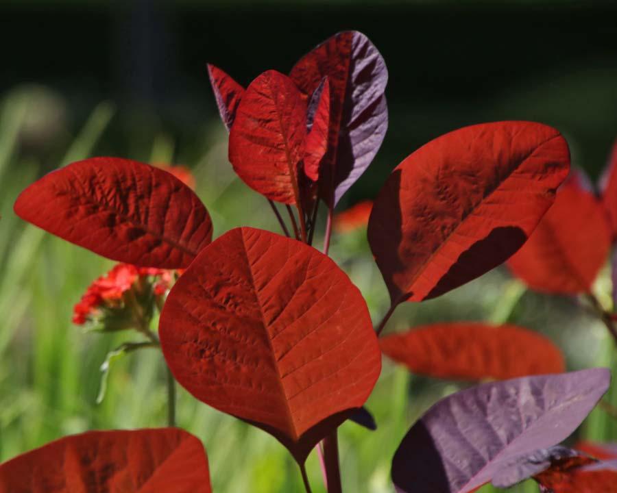 Cotinus coggygria purpurea