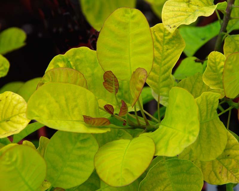 Cotinus Golden Spirit - Brilliant golden leaves
