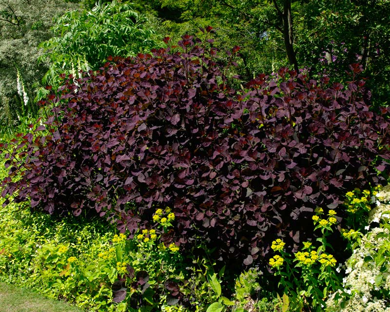 Cotinus Grace - bushy shrub growing to 6m - purple oval leaves