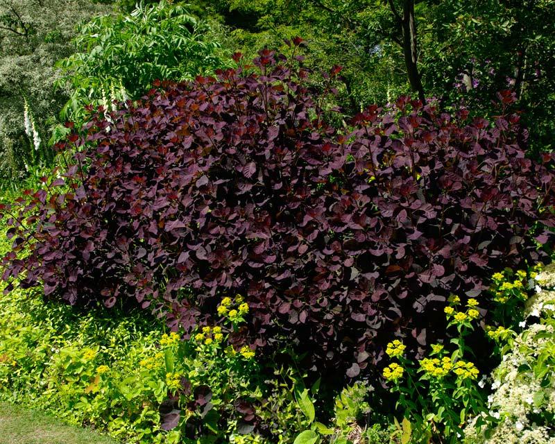Cotinus Grace - bushy shrub growing to 6m - purple oval leaves