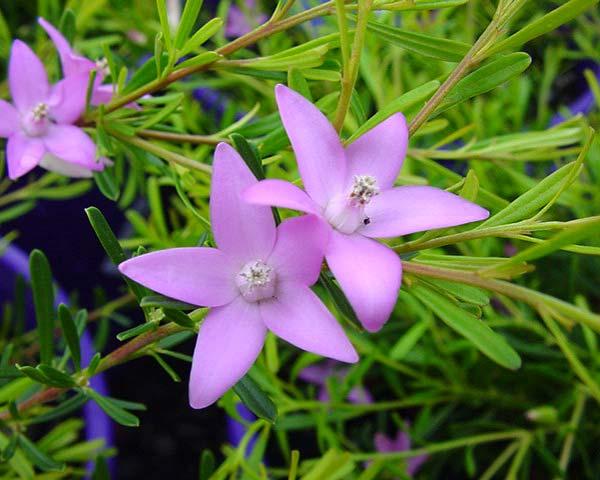 Crowea exalta, simple but beautiful flowers.