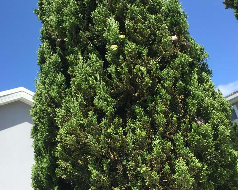 Gardensonline Cupressus Sempervirens Stricta