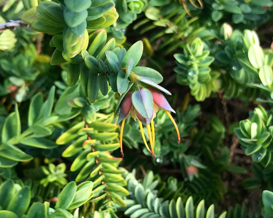 The peachy-green bracts Darwinia citriodora