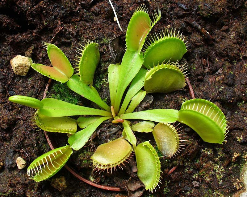 Dionaea muscipula, Venus Fly Trap photo by H.Zell