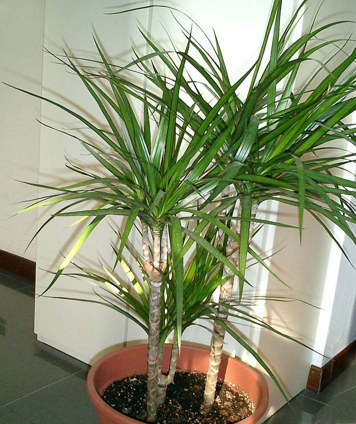 Dracaena marginata - in frost prone areas often used as houseplant - photo wikicommons author unknown