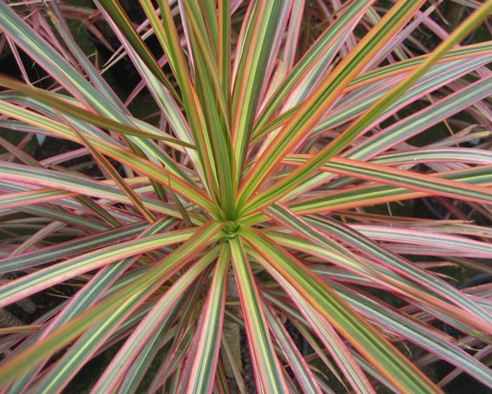Dracaena marginata - Tricolour