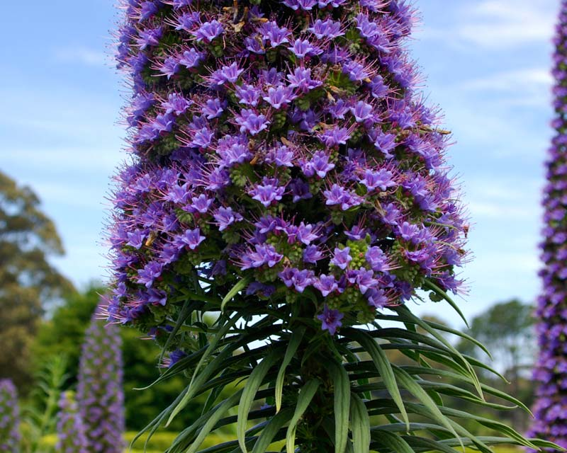 Echium 'Cobalt Towers' - mauve to blue mauve flowers on tall cylindrical spike above rosettes of lance shaped leaves