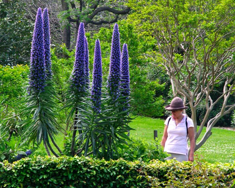Echium 'Cobalt Towers' is a hybrid of Echium candicans and Echium pininana.  Tall flowers spikes reaching over 2m