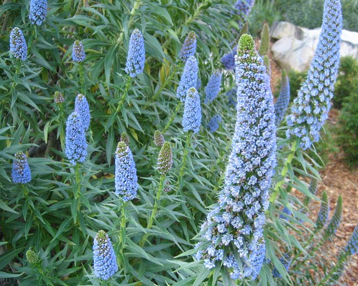 Echium fastuosum syn. candicans, Pride of Madiera - spikes of blue funnel shaped flowers