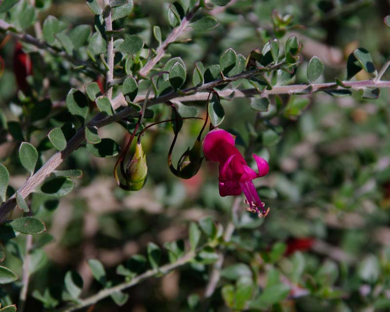 Eremophila maculata subsp Brevifolia has much smaller leaves and flowers