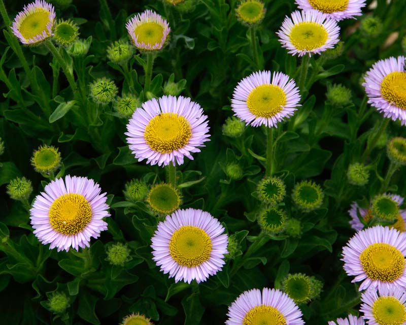 Erigeron glaucus, Seaside Daisy