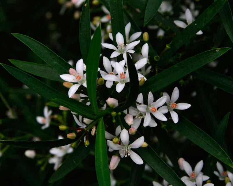 Philotheca myoporoides - the long leafed waxflower