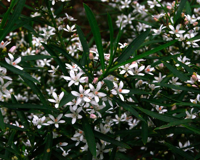 Philotheca myoporoides - delicate white flowers of Long Leafed Waxflower
