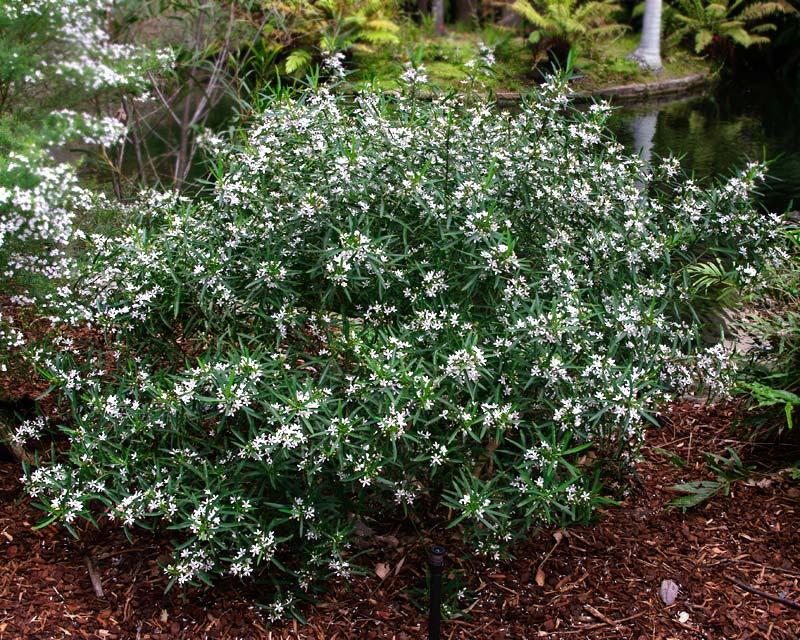 Philotheca myoporoides - Sydney Botanic Garden