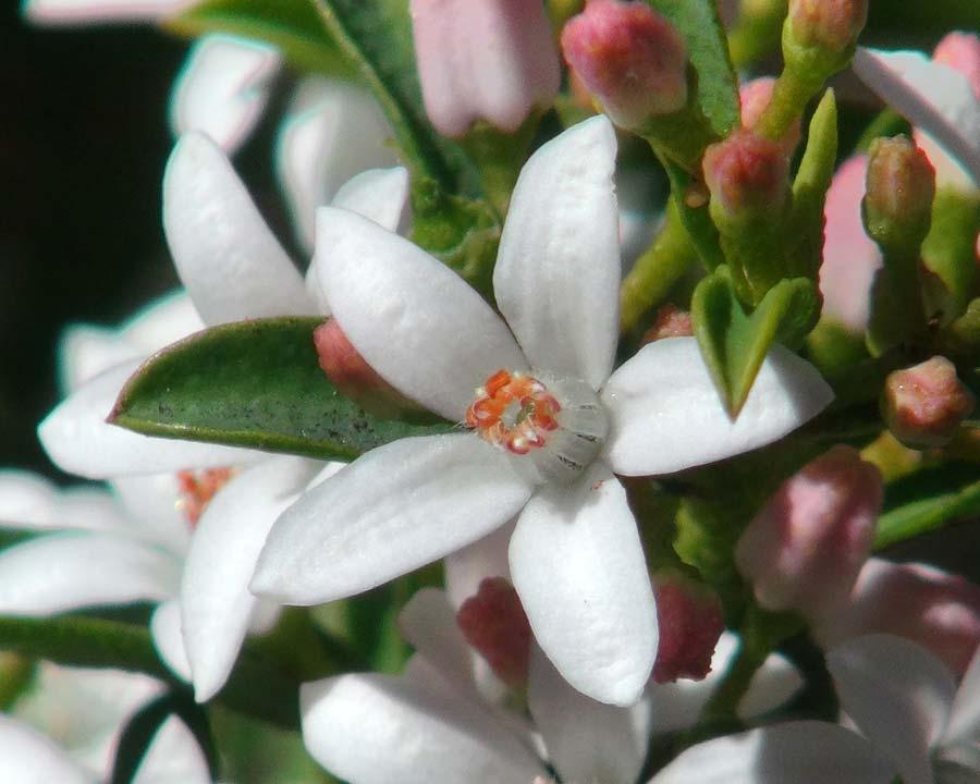 Philotheca myoporoides subsp. Acuta