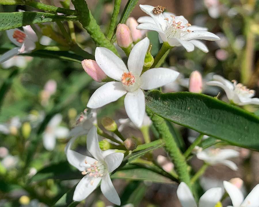 Philotheca myoporoides