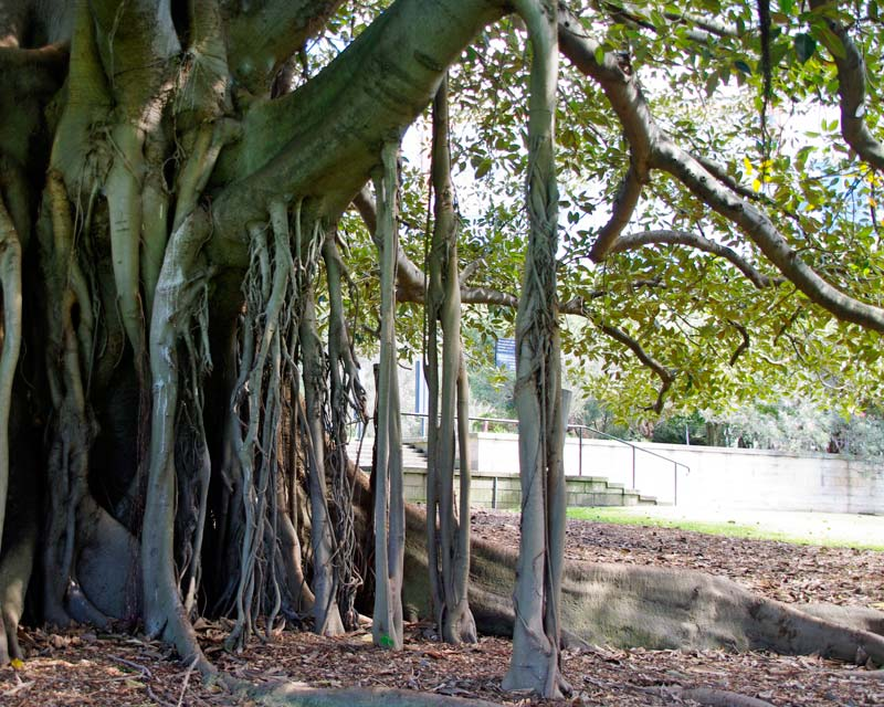 Ficus Macrophylla subsp Macrophylla - aerial roots develop from underside of branches to stabilise plant and support the heavy branches