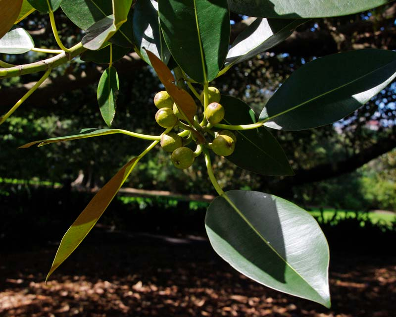 Ficus Macrophylla subsp Macrophylla - new fruit and leaves