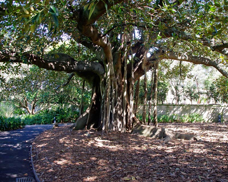 Ficus Macrophylla subsp Macrophylla - The large spreading branches offer shade from the  hot summer sun