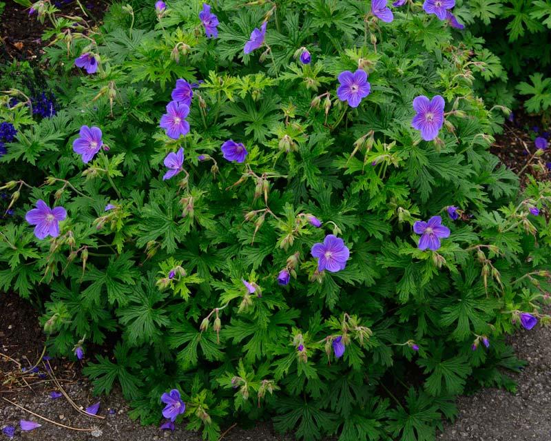 Geranium himalyaense Gravetye