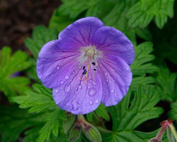 Geranium himalyaense Irish Blue