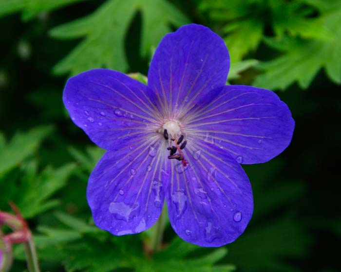 Geranium himalayense Johnson's Blue