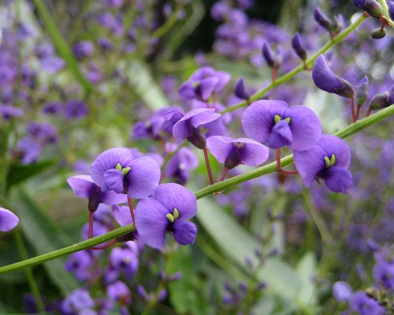 Gardensonline Hardenbergia Violacea Happy Wanderer